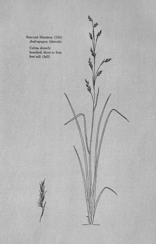 Texas Range Grasses